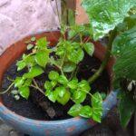 Tanaman sirih cina tumbuh di pot Taman Harmonionline.net.*Foto:rwd