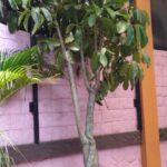 Pohon Walisongo berjenis besar sebagai tanaman peneduh. Foto: rwd